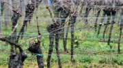Organic farming through winegrowers' eyes